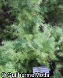 (CRJA8) Cryptomeria japonica ´Elegans´