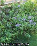 (ACAZ) Achetaria azurea
