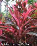 (COFR12) Cordyline fruticosa ´Red Sister´