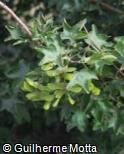 (ACCA) Acer campestre