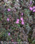 (CEGR) Centradenia grandifolia
