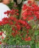 (BOSP6) Bougainvillea spectabilis ´Don Fernando´