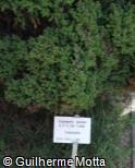 (CRJA6) Cryptomeria japonica ´Lobbii´