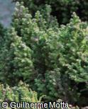 (CRJA7) Cryptomeria japonica ´Vilmoriniana´