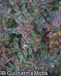 (ABGR3) Abelia x grandiflora ´Mardi Gras´