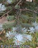 (PIPU) Picea pungens ´Koster´