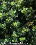 (BUSE2) Buxus sempervirens ´Rotundifolia´