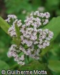 (CECA2) Centranthus calcitrapa