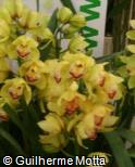 (CYGR2) Cymbidium  ´Green Orb´