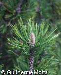 (PIMU) Pinus mugo