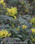 (BEAQ) Berberis aquifolium