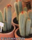 (MIFL) Micranthocereus flaviflorus