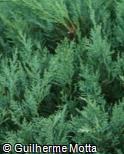 (JUVI2) Juniperus virginiana ´Glauca´
