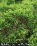 (JUHO) Juniperus horizontalis ´Golden Carpet´
