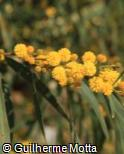 (ACSA) Acacia saligna