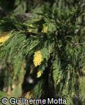 (CADE) Calocedrus decurrens ´Aureovariegata´