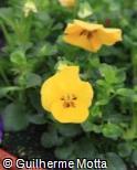 (VIWI14) Viola × wittrockiana ´Sorbet Yellow Delight´
