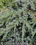(JUSQ4) Juniperus squamata ´Blue Carpet´