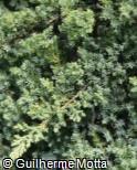 (JUPR2) Juniperus procumbens ´Nana´