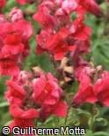 (ANMA12) Antirrhinum majus ´Floral Showers Crimson´