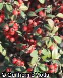 (COFR11) Cotoneaster franchetii