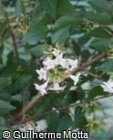 (ABCH) Abelia chinensis