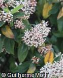 (VITI2) Viburnum tinus ´Anvi´