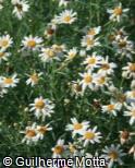 (ARFO2) Argyranthemum foeniculaceum ´Donington Hero´