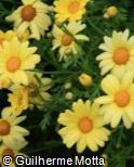 (ARFR5) Argyranthemum frutescens ´Ulyssis´