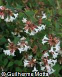 (ABGR5) Abelia x grandiflora ´Compacta´