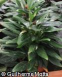 (PHCO) Philodendron  ´Cobra´