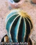 (ERMA) Eriocactus magnificus