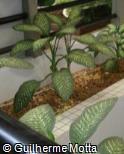 (DIAM2) Dieffenbachia amoena ´Tropic Snow´