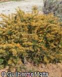 (ULPA2) Ulex parviflorus