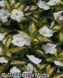 (IMSU2) Impatiens  ´Sunpatiens Spreading Variegated White´