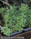 (CHQU) Chenopodium quinoa