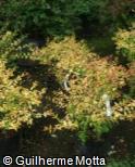 (ABGR4) Abelia x grandiflora ´Aurea´