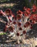 (AEAR) Aeonium arboreum ´Atropurpureum´