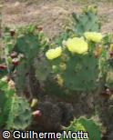 (OPST) Opuntia stricta
