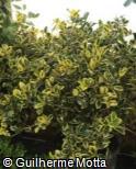 (ILAQ5) Ilex aquifolium ´Golden Van Tol´