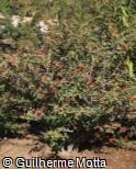 (BEHO) Berberis hookeri