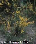 (ULEU) Ulex europaeus