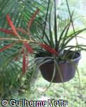 (TILA) Tillandsia latifolia