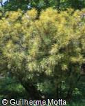 (COVA20) Codiaeum variegatum ´Pictum Spot´