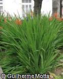 (CHFL) Chasmanthe floribunda