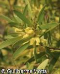(ACLO) Acacia longifolia