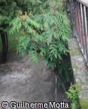 (MAJA) Mahonia japonica