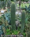 (NEPO) Neobuxbaumia polylopha