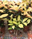 (COVA19) Codiaeum variegatum ´Mrs. Iceton´