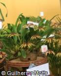 (BUPI) Bulbophyllum picturatum